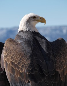 New Mexico, bald eagle, winter