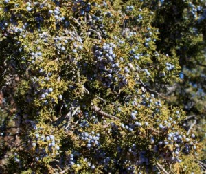 New Mexico juniper tree berries