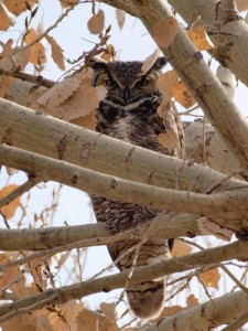 New Mexico Owl Wildlife