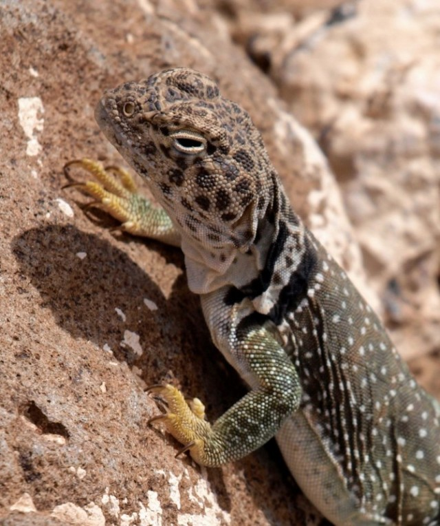 Collared Lizard New Mexico