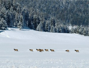 Elk foraging on a winter's day