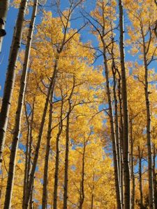 The aspens yesterday were glowing