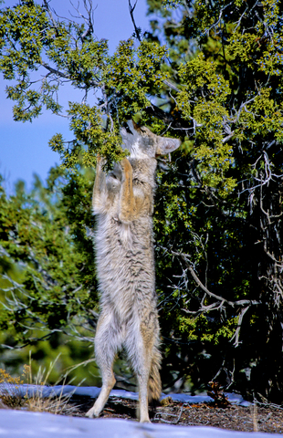 New Mexico coyote feeding on winter juniper berries