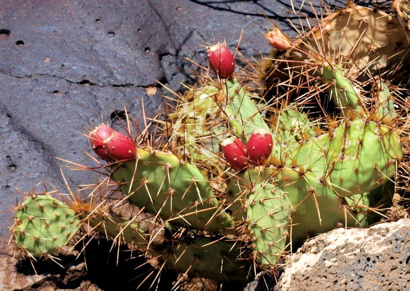 New Mexico Prickly Pear