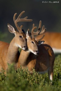 Whitetail bucks in velvet.  Photo copyright Coy Hill, used by permission.