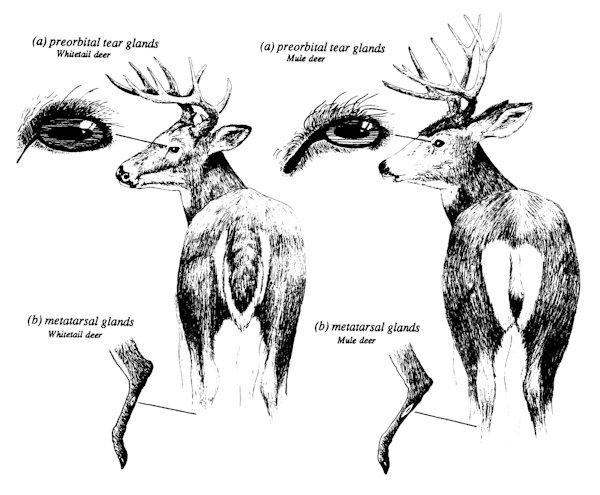 Deer Ed