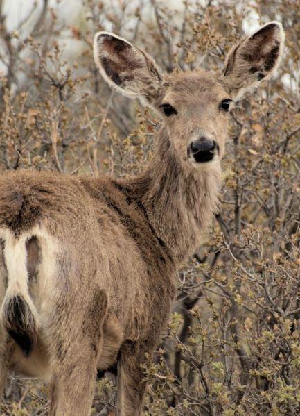 Mule Deer doe, late spring
