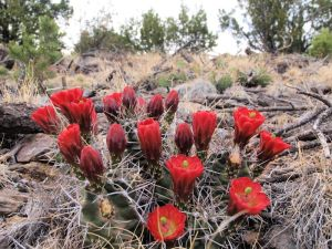 Early summer blooms of Claret Cup cactus
