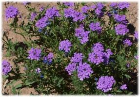 New Mexico hiking wildflower